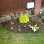 New Heuchera Bed (Heuchera micrantha (Coral flower))