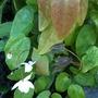Epimedium x youngianum 'Niveum'  (Epimedium x youngianum 'Niveum')