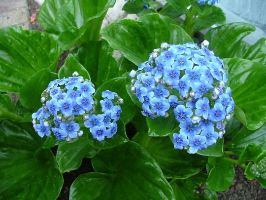 Myosotidium hortensia (Chatham island forget-me-not) (Myosotidium hortensia)