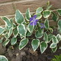 Vinca Major Variegata (Vinca major 'Variegata' (Variegated greater periwinkle))