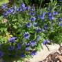 Veronica longifolia Oxford Blue (Veronica longifolia Oxford Blue)