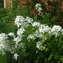 Hesperis (sweet rocket)