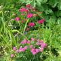 armeria rose and sweet williams