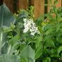 dwarf white lilac