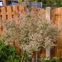 lots of pink on my salix