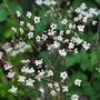 Anthriscus sylvestris Ravenswing.. (Anthriscus sylvestris (Cow parsley))