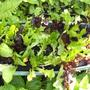 Lettuce_from_lidl_12_5_11bild0070