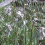 Eriophorum angustifolium (Eriophorum angustifolium (Bog Cotton))