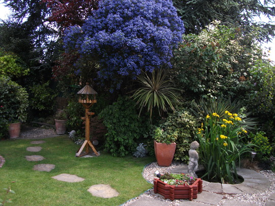 The Ceanothus is heavy with blossom today
