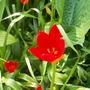 tulip sprengeri (tulip sprengeri)
