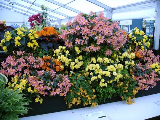 Shrewsbury flower show 2007 (Begonia)