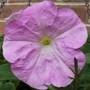 Petunia (Petunia single)