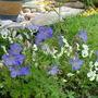 Geranium johnsons blue
