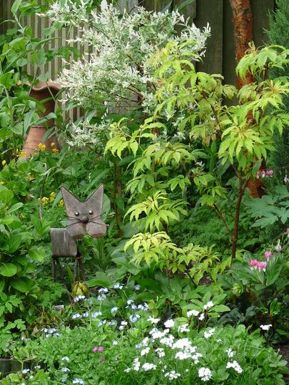 Garden greens 1 (Sambucus racemosa (Red-berried elder))