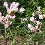 Allium_roseum.