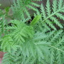 Tansy leaves...aren't they lovely? (Tanacetum vulgare)