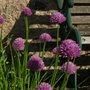 Alliums_bench