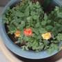 miniature yellow-reddish-orange rose  may 2011