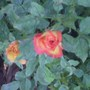 This rose used to be more yellow than red now it seems to have switched...