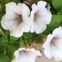 pale petunias, lovely, but did not survive long in Houston's current drought
