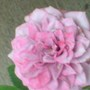 fascinated by lavender rose blooms with hints of bright pink