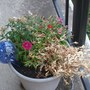 from one day to the next, part of the dianthus died  ??