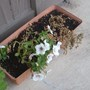 The petunias struggled but didn't make it.  I even moved them out of the sun.