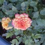 the yellow rose turned orangey-red
