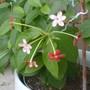 the rangoon vine creeper finally bloomed!
