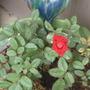 red rose begins to bloom