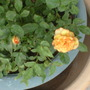 yellow miniature rose before turning more reddish-orange