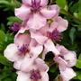 Verbascum   '  Southern Charm '
