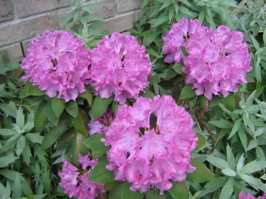 English Pink Rhododendron