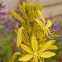Asphodeline lutea (King's Spear)