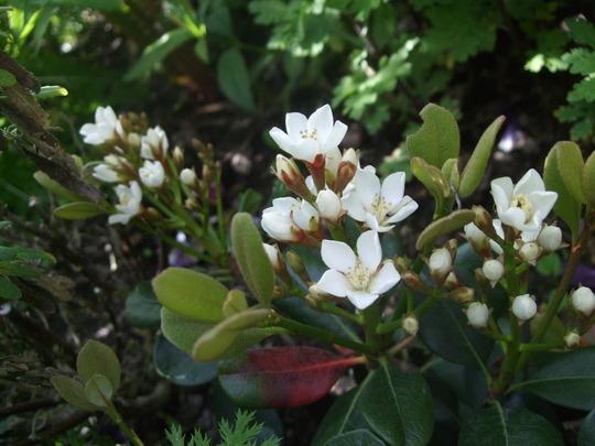 Raphiolepsis  umbellata (Raphiolepsis)