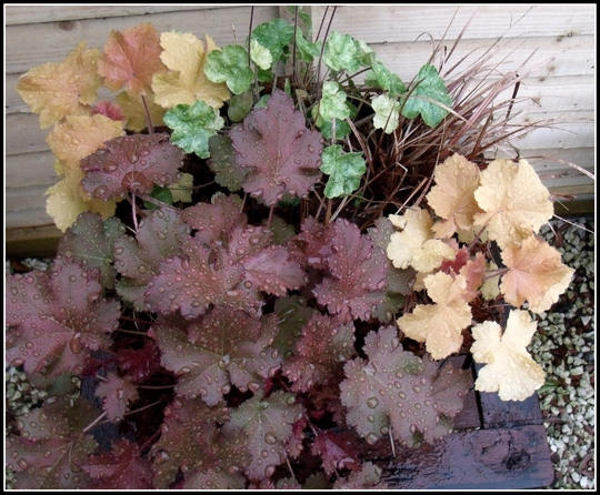 Heuchera Planter