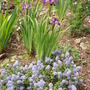 Iris siberica 'Blue King' (Iris siberica 'Blue King')
