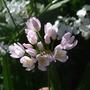 Allium roseum (Allium roseum)