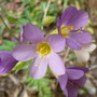 Polemonium_jacob_s_ladder_pink_
