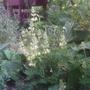 Lupinus arboreus (Lupinus arboreus (Tree lupin))
