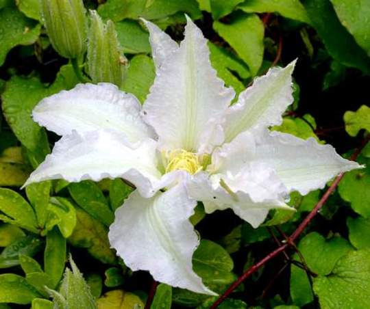 Gladys Picard     Clematis