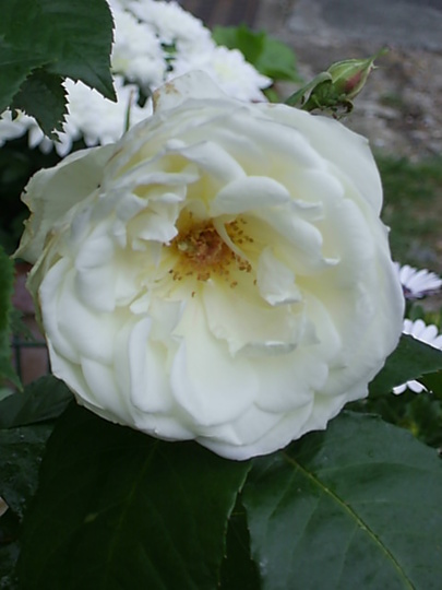 White Fragrance Rose