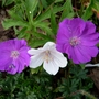 Hardy Geranium Sanguineum &#x27;Max Frei&#x27; with &#x27;Kashmir White&#x27; (Geranium sanguineum (Bloody cranesbill))
