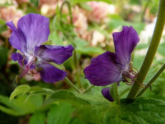 Hardy Geranium Phaeum 'Lily Lovell' (Geranium phaeum (Mourning widow))