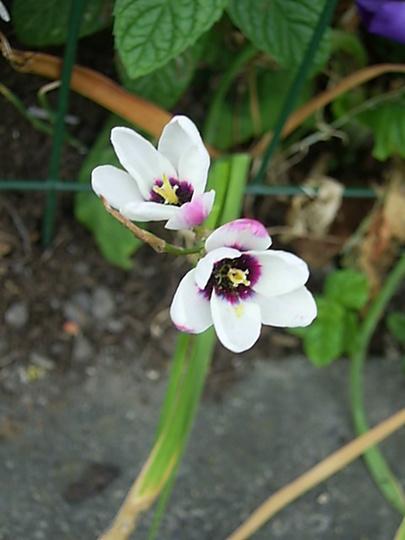 White With Purple Edge Afican Corn Lily