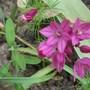 Allium_insubricum