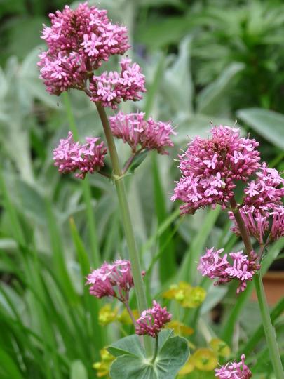 Pink Valerian (Centranthus)