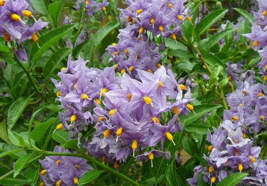 Solanum 'Glasnevin' (Solanum crispum 'Glasnevin')