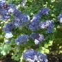 A garden flower photo (Ceanothus)