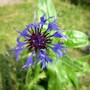 Mountain Cornflower (Centaurea Montana)